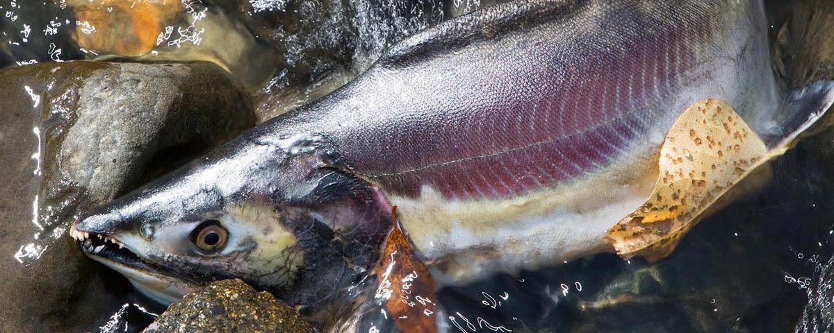 Nooksack River, Spawning Salmon, © Brett Baunton