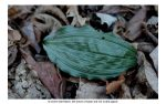 adam and eve orchid leaf
