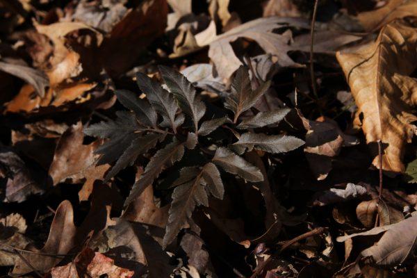 frost bronzed rattlesnake fern