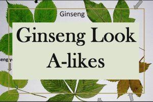 ginseng look alikes