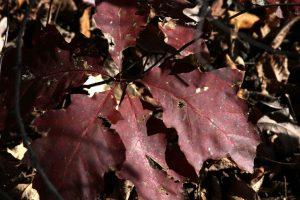 red oak sapling