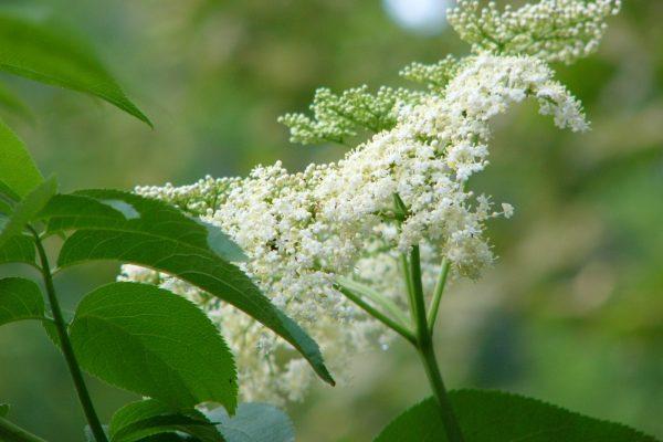 Elderberry blossom