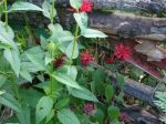 A red variety of beebalm (Monarda didyma) that doesn't grow wild here at Wild Ozark. It does grow in Missouri, though.