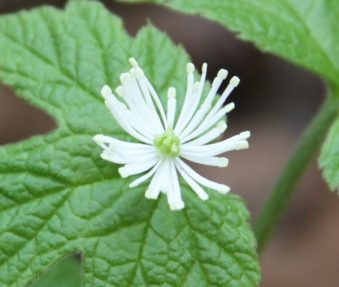 goldenseal flowering