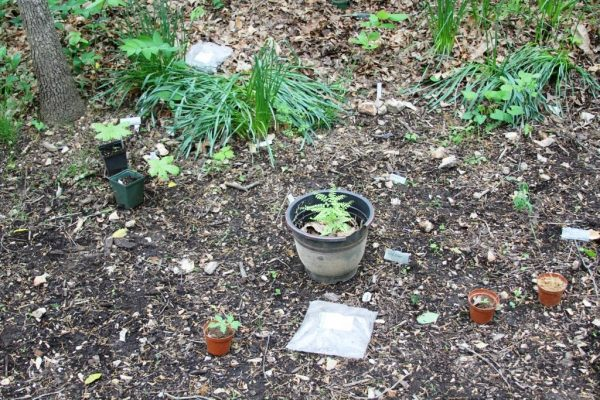 Some of the plants waiting to be planted in the ginseng habitat at Compton Gardens.