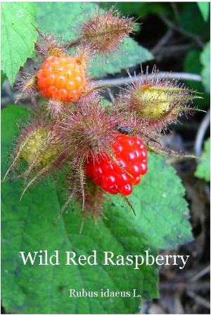 The front side of the Wild Red Raspberry card in Wild Ozark's Plant Identification Card set