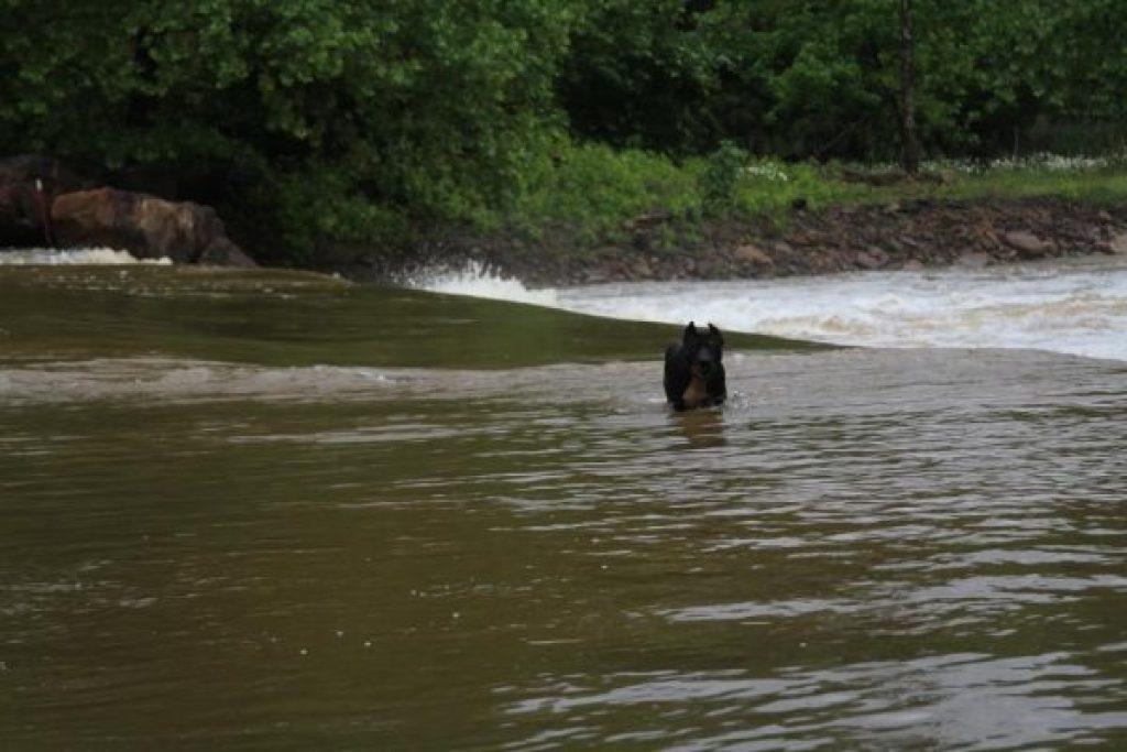 dog on flooded bridge