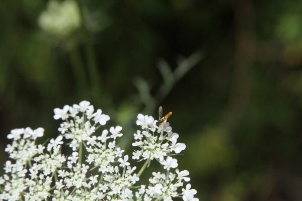 tiny wasp pollinating QA Lace