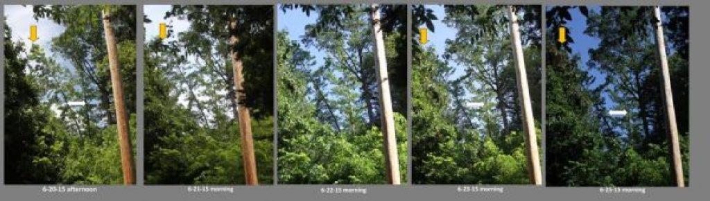 Leaning tree study