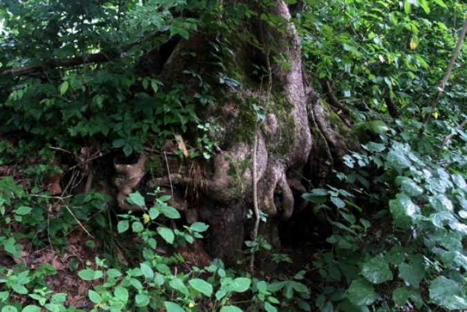 roots of an old sycamore tree