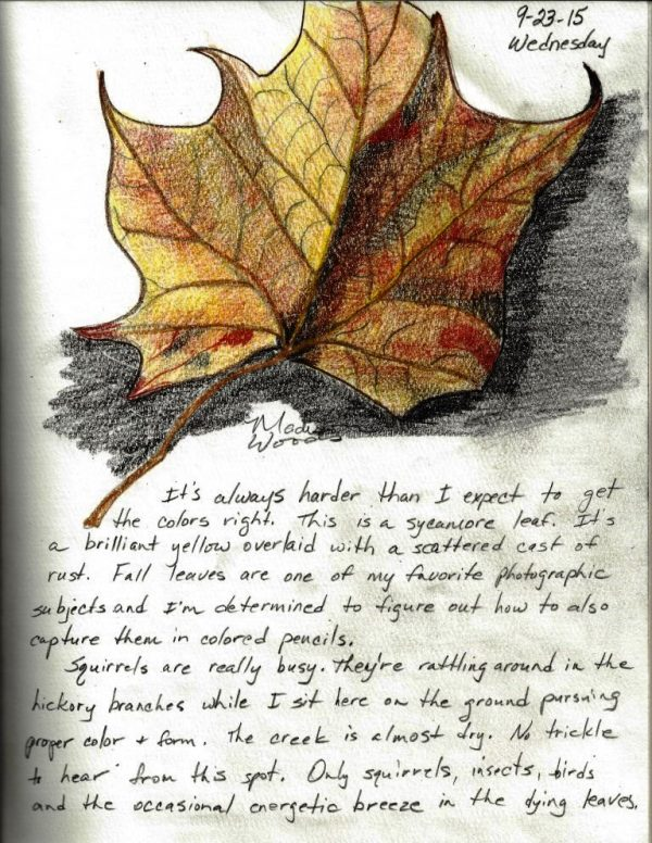 WildOzark Nature Journal Day 3- Yellow Sycamore Leaf