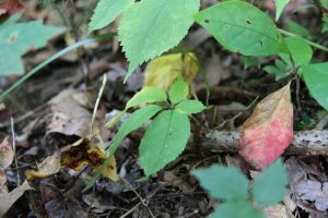 ginseng in mid-september