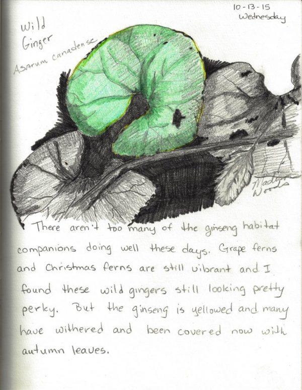 Wild Ozark Nature Sketch Day 23 - Wild Ginger (Asarum canadense)