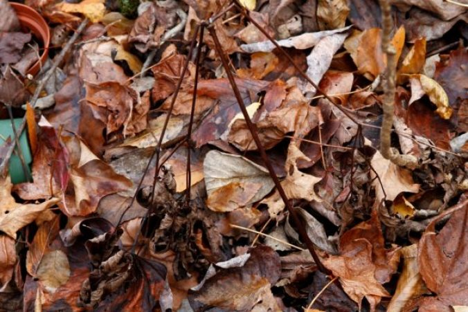 Only three prongs left and falling apart, this is how ginseng looks in November in the Ozarks.