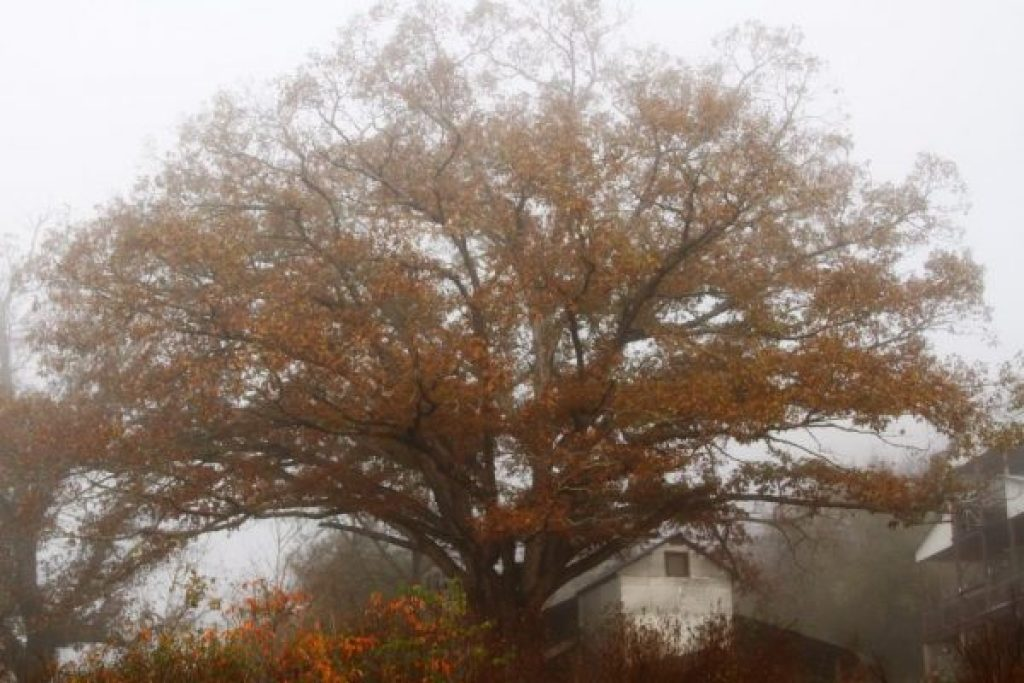 Gloria, the Old Oak Tree