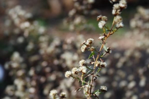 Dried heads of summer's asters