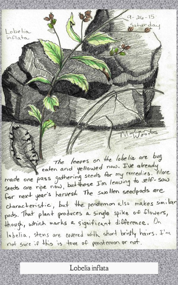 lobelia nature sketch