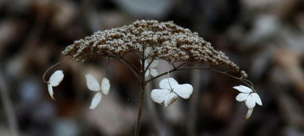 Relics of seasons past - a wild hydrangea flower