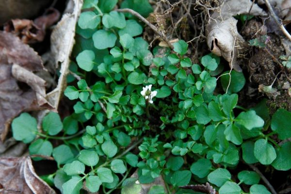 Cress, one of the first flowers of spring at Wild Ozark.