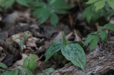 Trillium about to bloom