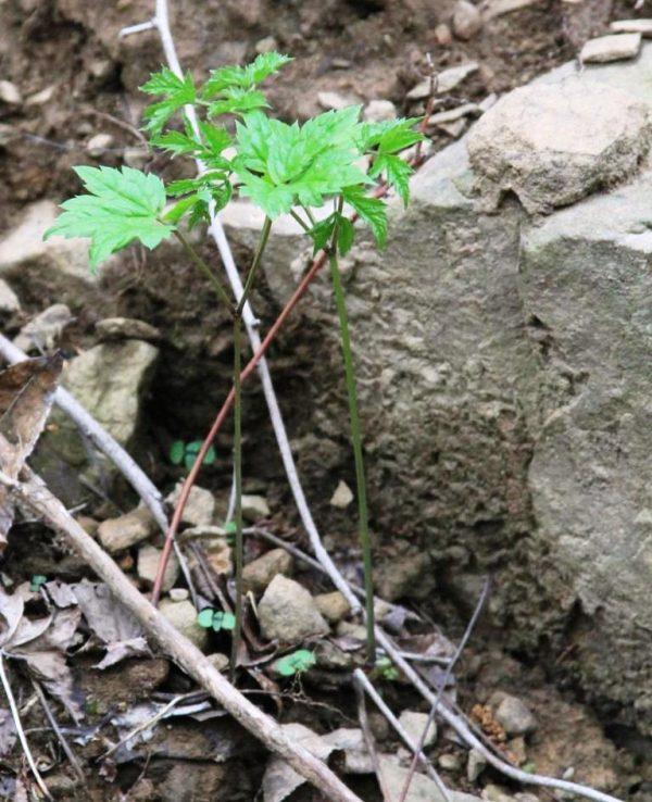 Photos of plants : black cohosh