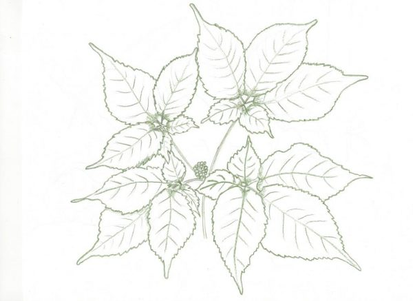 color outline of my sketch of Ginseng in May