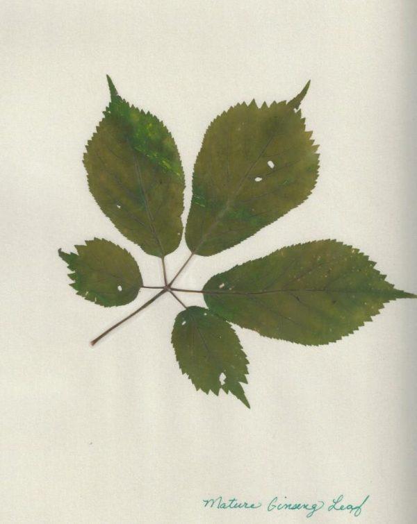 Mature ginseng leaf prong