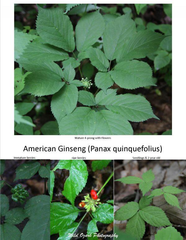 Story of Ginseng