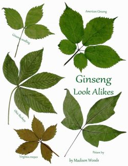 Ginseng Look-Alikes