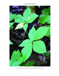 "A page on Virginia creeper from the ""Look-Alikes"" book."