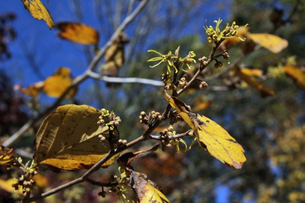 Witch Hazel (Hamamelis virginiana) flowers and autumn color.