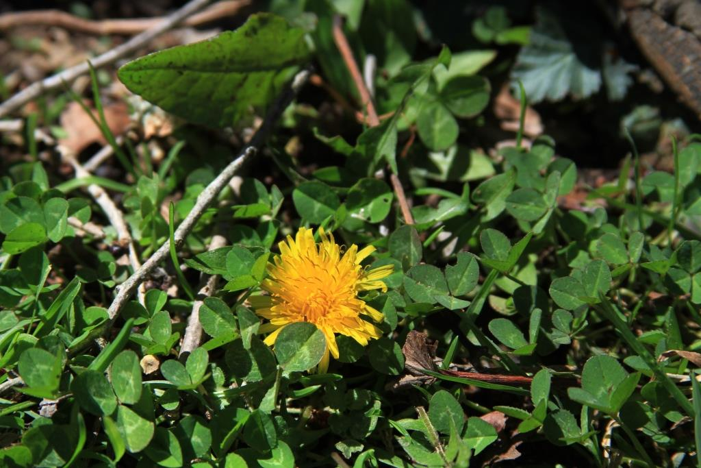 Dandelion flower cheerfully peeking out from beneath the clover.