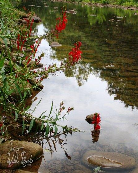 Creekside cardinal flowers.