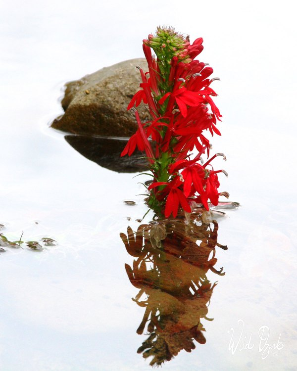Cardinal Flower Reflections