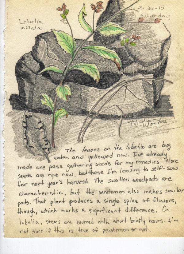 Nature Journal entry, Day 6 - Lobelia inflata