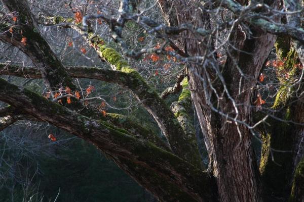 The mossy oak limbs of Gloria.