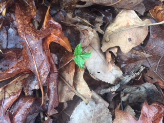 Ginseng seedlings coming up early in Yellville