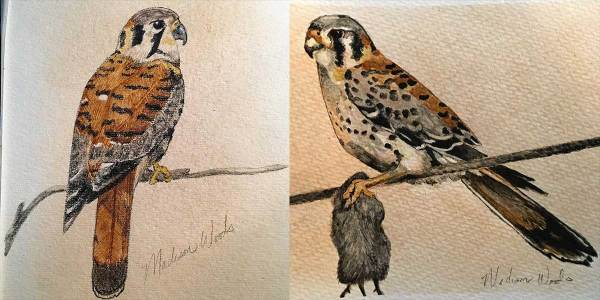 American kestrels I painted while in Doha, Qatar, 2018.