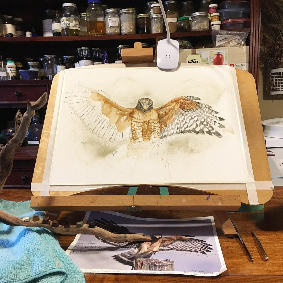 A Madison Woods work in progress, red-shouldered hawk.