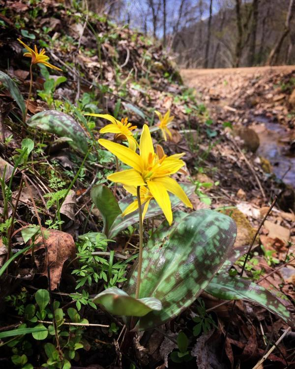 Trout lilies grow in large colonies, but they don't begin blooming for sometimes five years.