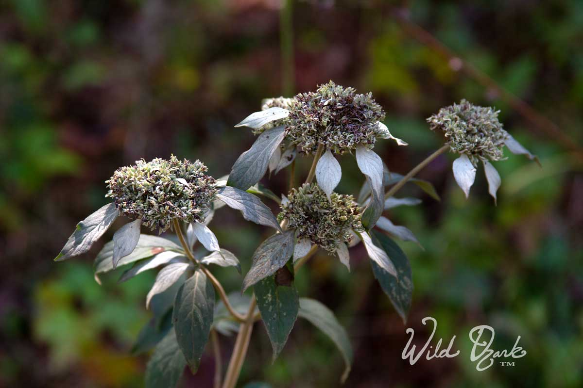 Wild Mountain Mint works great to repel deer flies!
