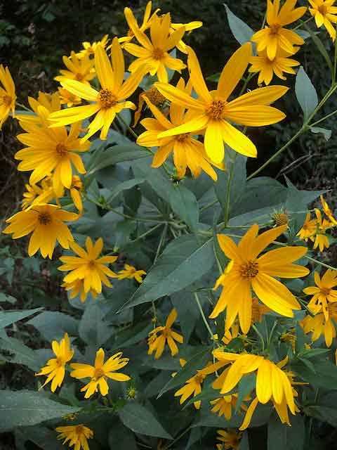 Wild sunflowers, yellow petals that would probably make great paint...