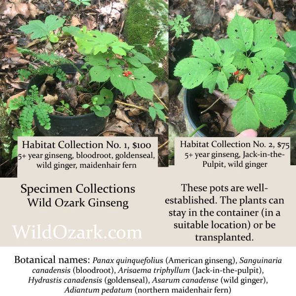 American ginseng specimen plants, with companions.