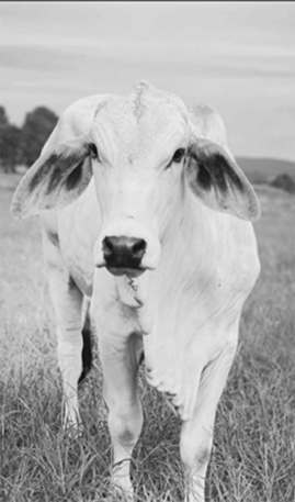 Whisper, the Brahman cow. This is the photo I'm working from to paint a cow portrait.