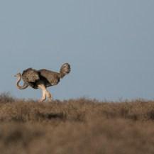 Somali ostrich (Struthio molybdophanes) at Lesirikan, Sumburu County, Kenya.