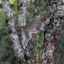 Hilgert's vervet monkey (Chlorocebus pygerythrus hilgerti), South Western Mau Forest Reserve