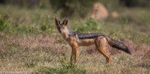 Black-backed jackal, Lolldaiga Hills Ranch, Laikipia.