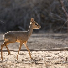 Kirk's dik-dik (Madoqua kirkii), Milgis, Samburu County, Kenya.