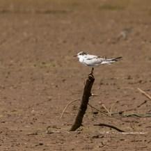 Whiskered tern (Chlidonias hybridaat) at Lepile Dam, Lesirikan, Samburu County, Kenya.