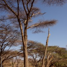 Nesting tree (dead tree on the right) of the Kenya lesser galago (Galago senegalensis braccatus) at Keleswa, Samburu County, Kenya.